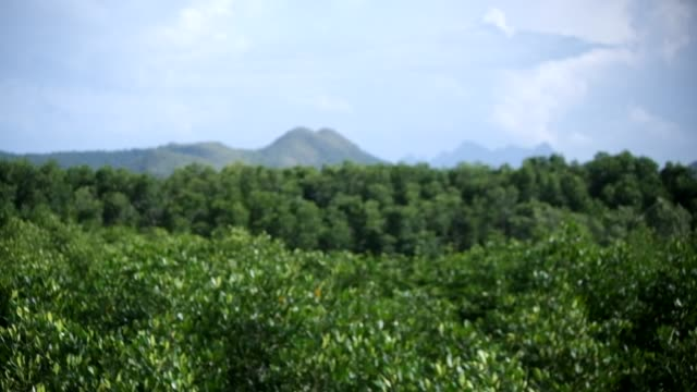 Mangrove forest, wind blow