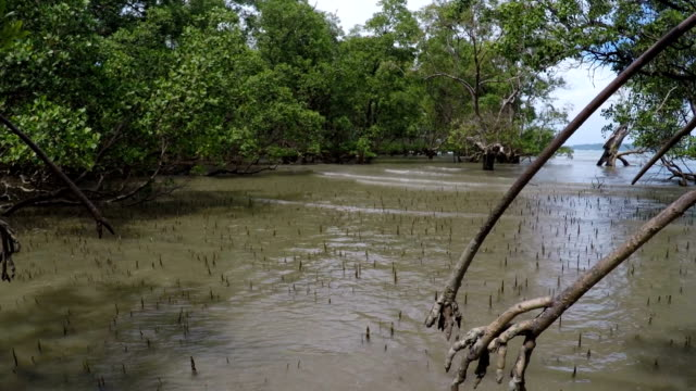 mangrove forests, phuket, thailand - mangrove forest stock videos & royalty-free footage