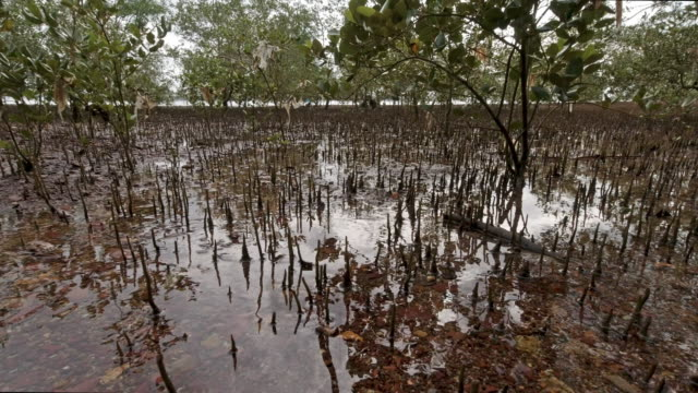 mangrove habitat roots showing through sea at low tide - tide stock videos & royalty-free footage