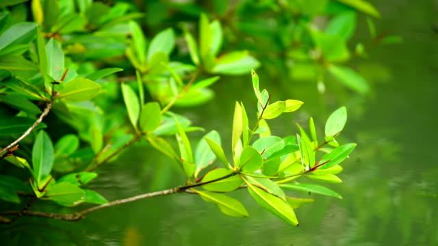 Mangrove leaves.