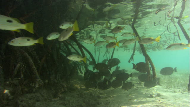 mangrove roots, scenic, aldabra, indian ocean  - mangrove tree stock videos & royalty-free footage