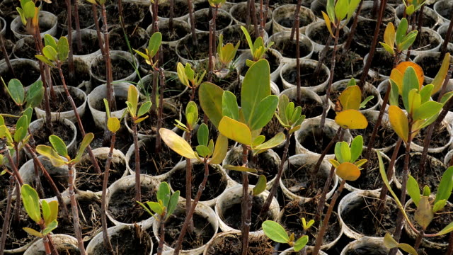 mangrove seedlings for mangrove forest planting - mangrove forest stock videos & royalty-free footage