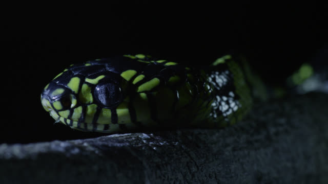 """mangrove snake (boiga dendrophila) slithers in tree at night, philippines"" - snake stock videos and b-roll footage"