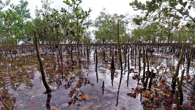 mangrove tree roots above sea level at low tide - tide stock videos & royalty-free footage