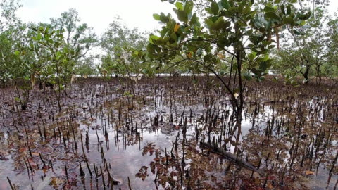 mangrove tree roots above sea level at low tide - ecosystem stock videos & royalty-free footage