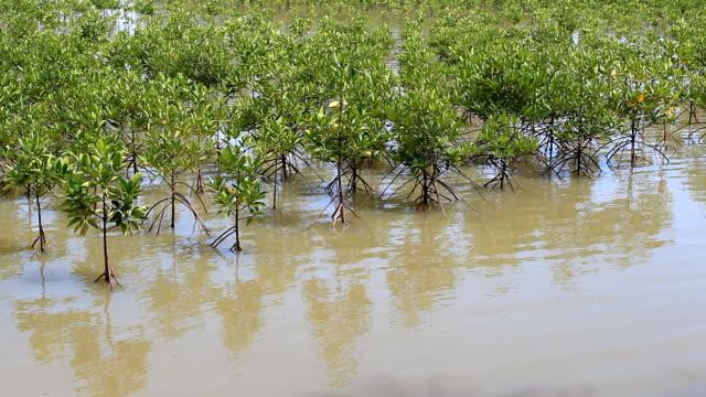 mangrove tree - mangrove tree stock videos & royalty-free footage