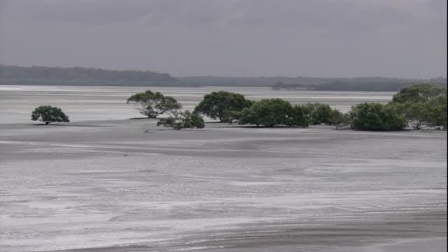 Mangrove trees grow on a beach near Queensland, Australia. Available in HD.