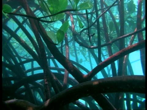 mangrove trees underwater, tangle of tree roots, lizard island, great barrier reef - mangrove tree stock videos & royalty-free footage