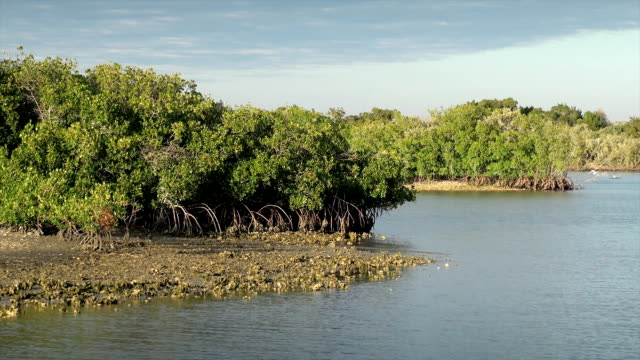 Mangrove Bäumen
