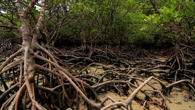mangrove - mangrove forest stock videos & royalty-free footage