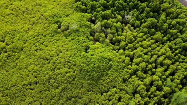 mangroves forest in east shore at Pra Sae province Rayong, Thailand