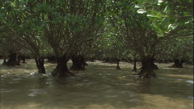 mangroves grow on the beaches of amami oshima island. - subtropical climate stock videos and b-roll footage