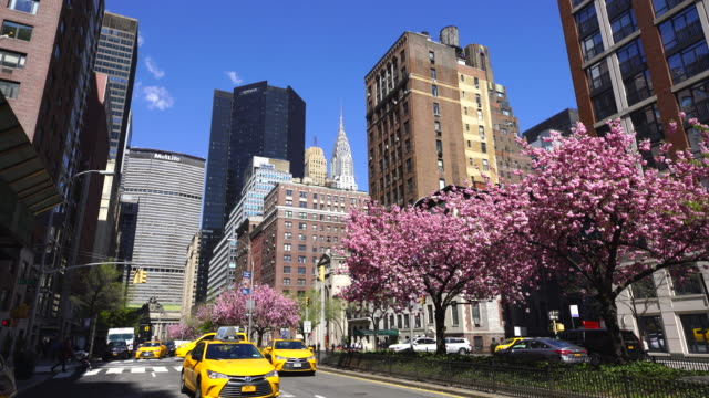 Manhattan traffic goes through along the full-blossomed rows of cherry blossom trees at Park Avenue in Manhattan New York City. Grand Central Terminal, Chrysler Building and other Midtown Manhattan buildings surround the Avenue.