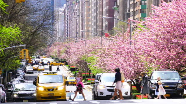 Manhattan traffic goes through along the full-blossomed rows of cherry blossom trees at Park Avenue in Manhattan New York City. People and cars cross the Avenue among the traffic.