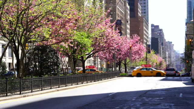 Manhattan traffic goes through among the full-blossomed rows of cherry blossom trees at Park Avenue in Manhattan New York City.