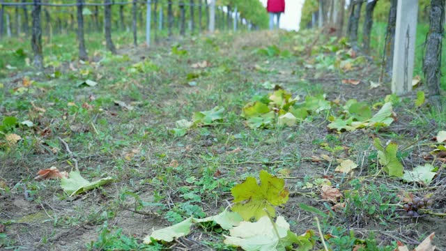 man's feet walking away from camera over growing grapes rows in vineyard, dusk light, wide shot, focus on grape leaf - grape leaf stock videos & royalty-free footage