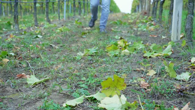 man's feet walking towards the camera over growing grapes rows in vineyard, wide shot, focus on grape leaf and legs - grape leaf stock videos & royalty-free footage
