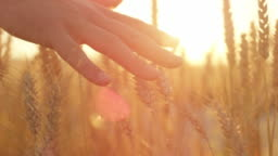 SLOW MOTION Man's hand caressing ripe golden wheat plants at gorgeous sunset