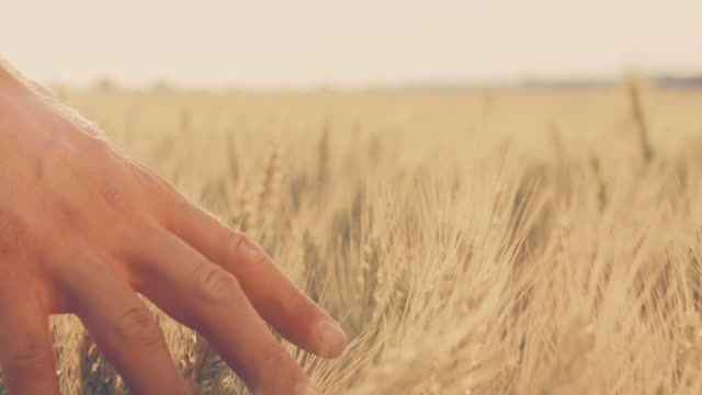 slo mo man's hand caressing wheat ears - ripe stock videos & royalty-free footage