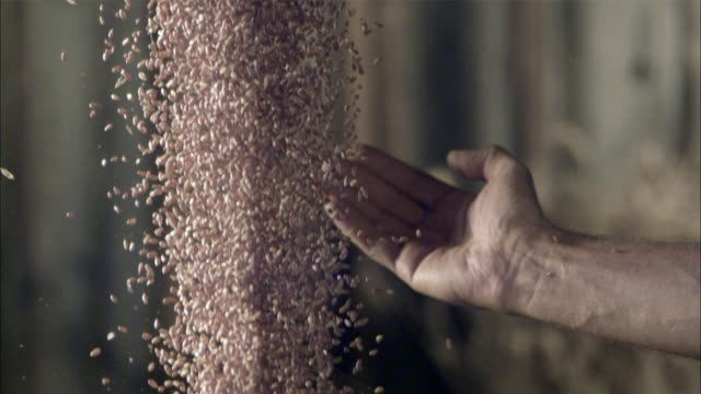 SLO MO CU Man's hand catching falling wheat berries / Vienna, Austria