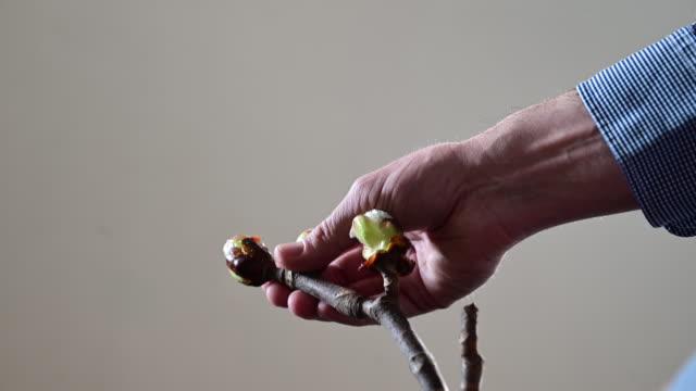vídeos de stock, filmes e b-roll de man's hand checking a chestnut (castanea) cutting before planting it in spring time. - ramo parte de uma planta