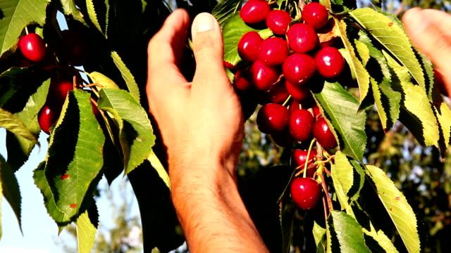 Man's hand picking bright red cherries