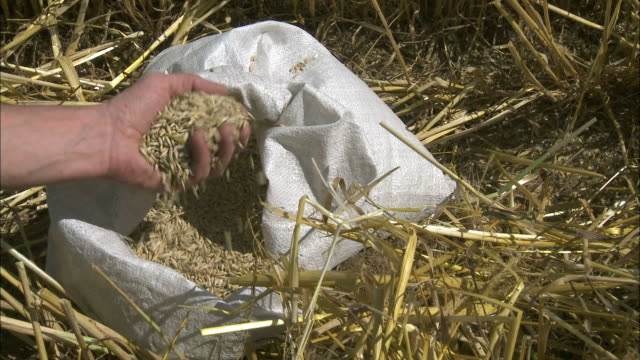 cu man's hand taking grabbing oat from sack in field, voves, beauce, france - sack stock videos & royalty-free footage