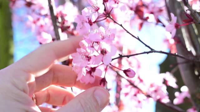 man's hand touching the pink floors of a blooming tree in spring. germany. - petal stock videos & royalty-free footage