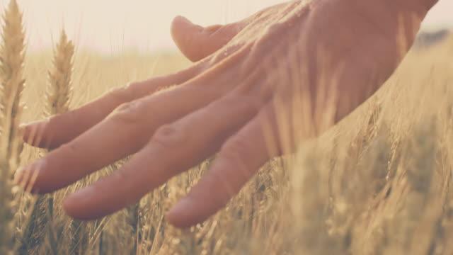 stockvideo's en b-roll-footage met slo mo man's hand aanraken van tarwe oren - rijp voedselbereiding