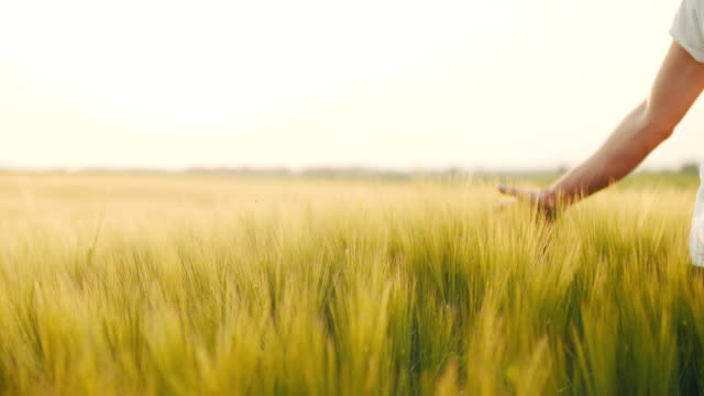 Man's hand touching wheat field.