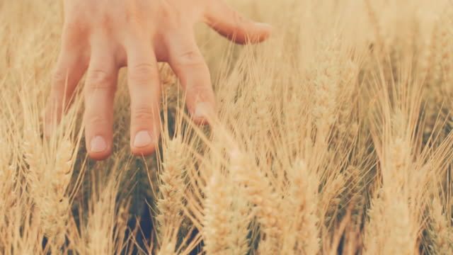 slo mo man's hand touching wheat in the field - ear of wheat stock videos and b-roll footage