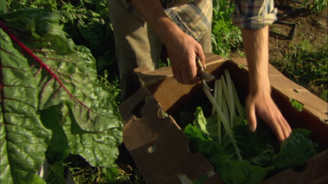 CU Man's hands packing large leaves of freshly picked chard in produce box in field in organic farm / Troutdale, Oregon, USA