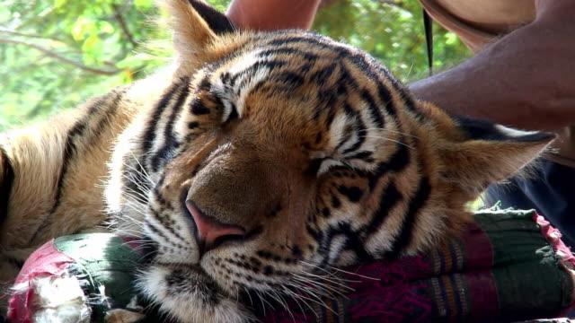 cu zo man's hands stroking sleeping tiger (panthera tigris) / thailand - stroking stock videos & royalty-free footage