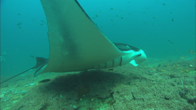 manta at clean station, circles back to camera, mozambique  - manta ray stock videos & royalty-free footage