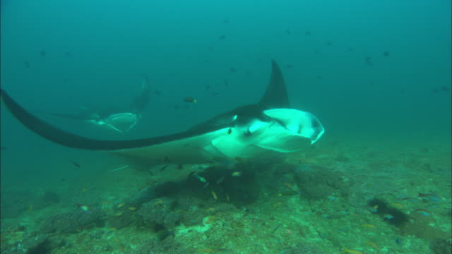 manta, cleaning station, mozambique  - symbiotic relationship stock videos & royalty-free footage