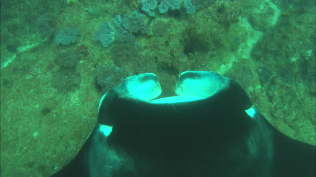 Manta, dorsal head view, descending shot to, Mozambique
