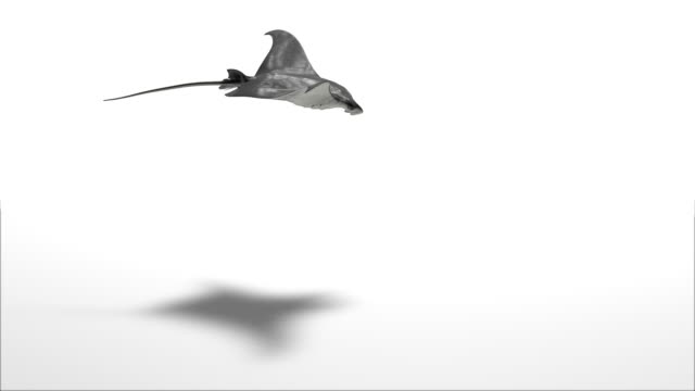 manta isolated on white - plain background stock videos & royalty-free footage