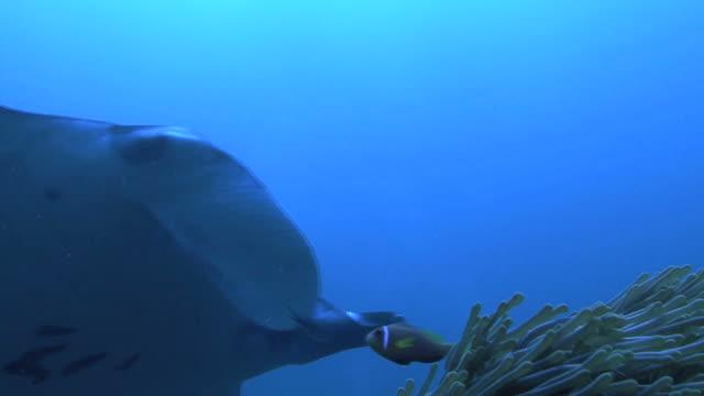 Manta (Manta biristris)over clown fish (family Amphiprioninae) Indian ocean, Maldives