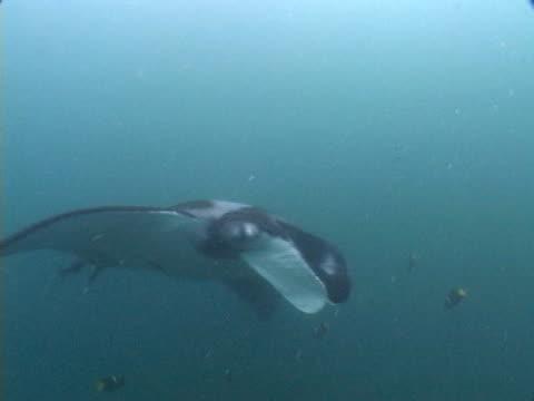 vídeos y material grabado en eventos de stock de manta passing camera - grupo pequeño de animales