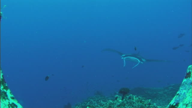 ws manta ray (manta birostris) and fish swimming languidly over coral reef / cairns, queensland, australia - reef stock videos & royalty-free footage