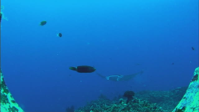 ws manta ray (manta birostris) and fish swimming languidly over coral reef / cairns, queensland, australia - medium group of animals stock videos & royalty-free footage