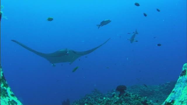 ws manta ray (manta birostris) and fish swimming over coral reef / cairns, queensland, australia - manta ray stock videos & royalty-free footage