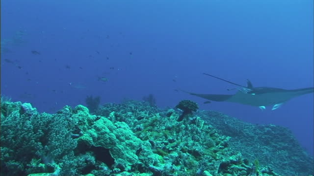 ws manta ray (manta birostris) and group of other fish swimming over coral reef / cairns, queensland, australia - barriera corallina video stock e b–roll