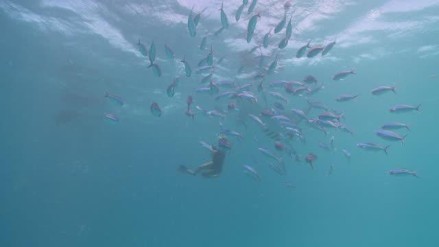 MS POV Manta ray and snorkeler / Hanifaru, Baa Atoll, Maldives