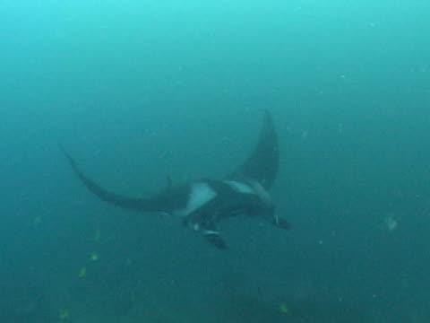 vídeos y material grabado en eventos de stock de manta ray butterflies jumping on from cleaning station - grupo pequeño de animales