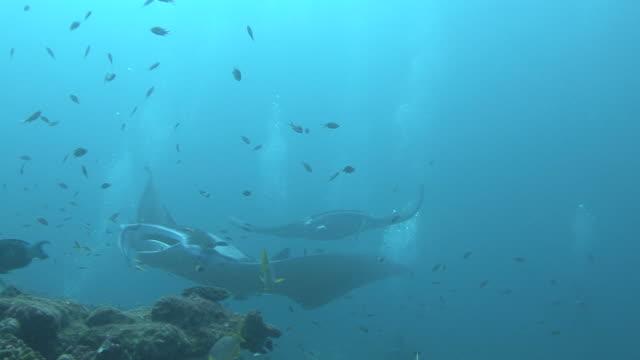 manta ray (manta biristris) come in close, indian ocean, maldives - animal attribute stock videos and b-roll footage