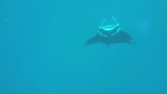 manta ray flipping over to feed. - adn bildbanksvideor och videomaterial från bakom kulisserna