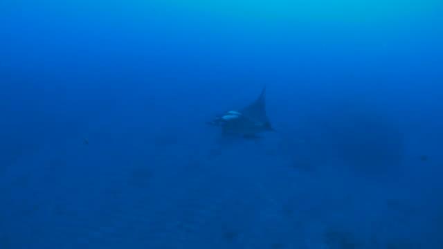 manta ray flying in reef - manta ray stock videos & royalty-free footage