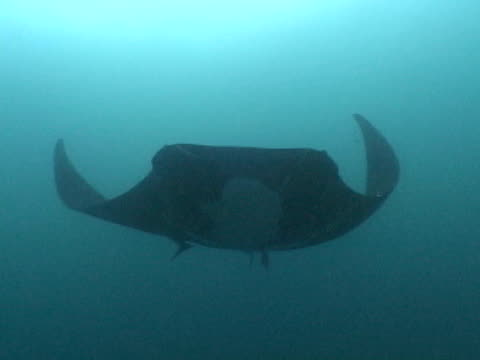 manta ray from deep to close underside - animal colour stock videos & royalty-free footage