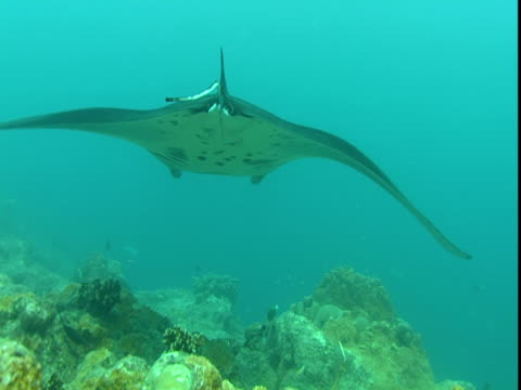 a manta ray glides over corals in the pacific ocean. - manta ray stock videos and b-roll footage